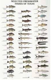 Texas Fish Chart Selected Freshwater Fishes Of Texas Texas Parks And