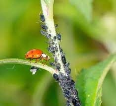 chili growing beneficial insects