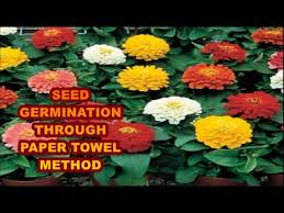 How To Germinate Flower Seeds Paper Towel Seed Germination Paper Towel How To Start Seeds Fast Youtube