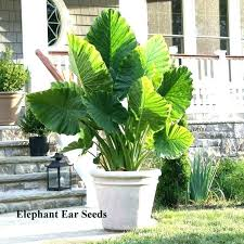 tall plants for privacy in pots privacy plants in pots patio plants seeds elephant ear plant