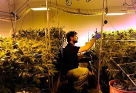 Basement Grow Room Design Cool Marijuana The Truth About Growing Your Own Pot The Denver Post