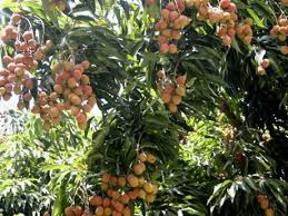 Ackee Fruit Deadly And Delicious  Natureu0027s PoisonsJamaican Fruit Trees