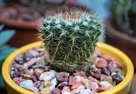 How Fast Do Cactus Grow Smart Garden Guide