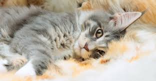 fluffy baby calico kittens. Beautiful Calico Maine Coon Cat Names With Fluffy Baby Calico Kittens N