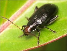 Corn Flea Beetle Fleabeetles Soybeans Crop Pests Insect Information