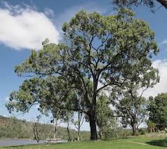 Image result for eucalyptus crebra