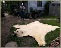 image of large bear skin rugs