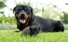 baby rottweiler. Wonderful Rottweiler You Can Help The U0027bondingu0027 Process Between You And Your Baby Rottweiler By  Spending Time Playing With Him Teaching Him Just Cuddling Him In Baby
