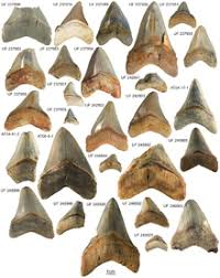 Shark Tooth Size Chart Megalodon Wikipedia