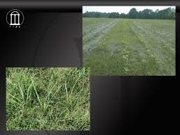 Duration Of Yellow Nutsedge Competitiveness After Treatment