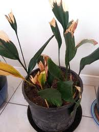 leaves turning yellow on house plant bamboo house plant leaves turning yellow
