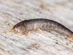 do silverfish bite facts myths and