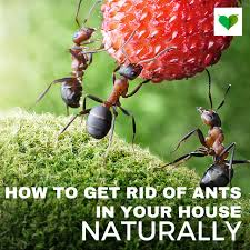 ants in kitchen elegant how to get rid of ants in the house naturally and easy
