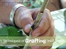 DELAYED INCOMPATIBILITY IN GRAFTING TROPICAL FRUIT TREESHow To Graft Fruit Trees With Pictures