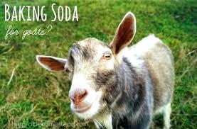 Goat Lice Goat Lice Treatment Ivermectin Beritaviralkita Co