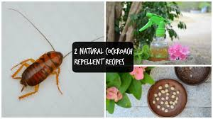 2 Natural Remedies To Get Rid Of Cockroaches In Kitchen Home