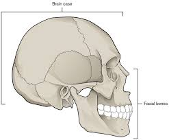 Small Picture Skull Bones Anatomy Coloring Pages Periodic Tables