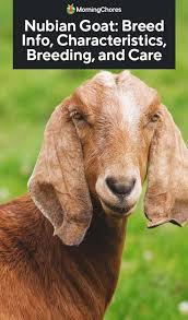 Dairy Goat Breeds Nubian Goat Breed Info Characteristics Breeding And Care