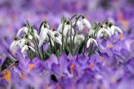 11 самых первых <b>весенних цветов</b> — Планета Флористики