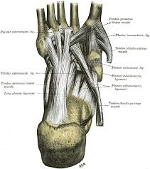 Foot Anatomy Bones Ligaments Muscles Tendons Arches