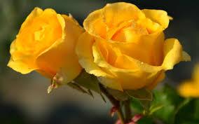 yellow roses hd wallpaper 0 res 3264x1840