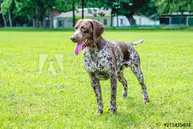 German Shorthaired Pointer Growth Chart Dog Of Breed German Shorthaired Pointer In Full Growth