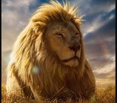 lion wallpapers hd desktop backgrounds