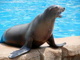 Image result for sea lion