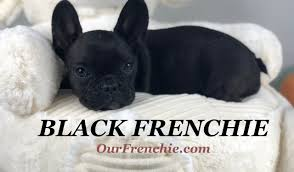 Black French Bulldog – Interesting ...