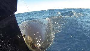 great white shark attacks boat. Fine Shark A Group Of Young Fishermen Has Had A Terrifying Brush With Rogue Great  White Shark When The Fivemetre Predator Attacked Their Small Boat In Victorian  For Shark Attacks Boat T