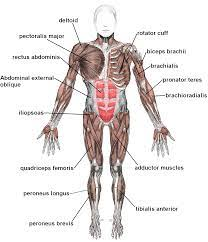 The top half of the body, the head, houses the control center organ of the body called the brain. The Basic Muscles In The Human Body These Bones Of Mine