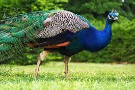 Imagini pentru Păunul comun albastru