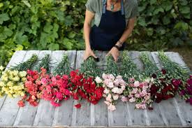 old fashioned carnations for cutting