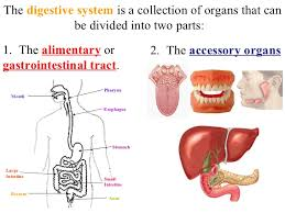 Accessory Organs Of The Digestive System Simple Digestive System
