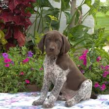 ian german shorthaired pointer puppy