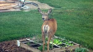 best way to control deers in your garden garden protection tips