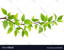 tree branch with leaves vector. small tree branch with green leaves vector image c