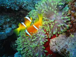 Tutti gli anemoni che si possono inserire in acquario scopriamoli