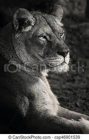 lioness black and white. Contemporary Lioness Lioness Black And White  Csp46901539 With Black And White A