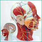 zenuwen hoofd