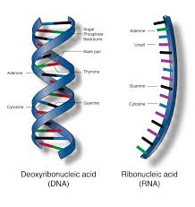 Nucleic Acid Talking Glossary Of Genetic Terms Nhgri