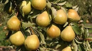Shedding Light On Fruit Drop  Stark Brou0027sDo All Pear Trees Bear Fruit