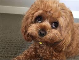 Image result for pictures of toy cavoodles