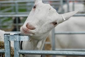 goat funny white