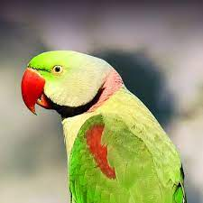 Alexandrine Parakeet Personality, Food & Care – Pet Birds by Lafeber Co.
