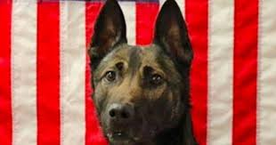 army dog maiko 7 killed in action saving his ranger handler s life in afghanistan washington examinerthe doggy blogger