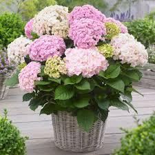 freiland hortensien kaufen