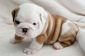 bulldog puppy high quality hd wallpapers