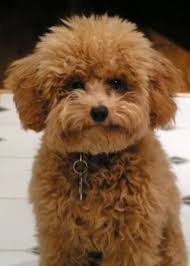 poodle puppy haircuts apricot toy poodle w a puppy cut hairstyles