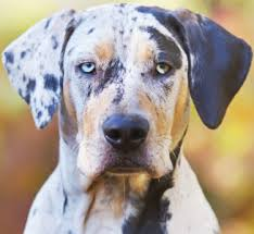 Catahoula Growth Chart Best Dog Food For Catahoula Leopard Dogs 2019 Top Picks